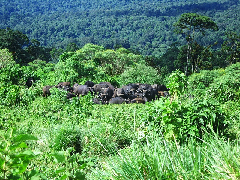 Vattenbufflar i Tanzania
