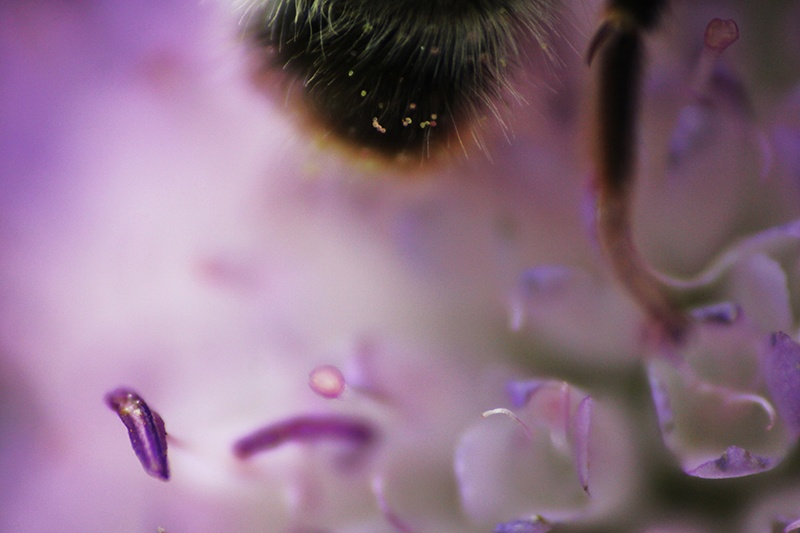 Humla på blomma