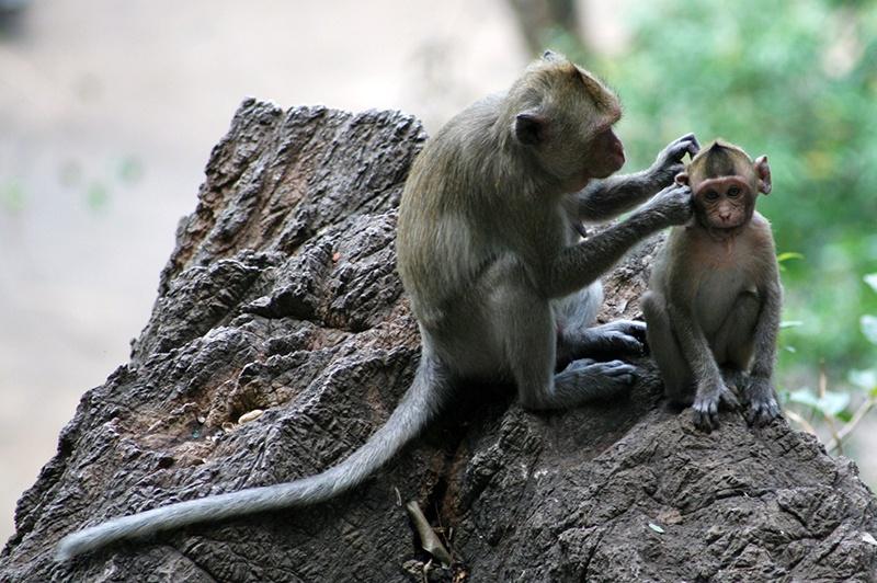 Apor i Norra Thailand