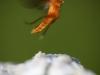 Hoppande Insekt